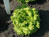 Насіння салату (латук) Фантайм  f1