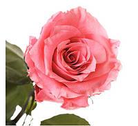 Три долгосвежих розы Розовый Кварц в подарочной упаковке Артикул: 228-1841231