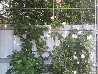 Декоративная решетка для вьющейся розы изготовлена из стеклопластиковой арматуры.