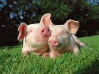 Кормовые добавки для свиней, Франция