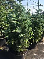 Ель колючая Глаука Маджестик (Picea pungens var. Glauca Majestic)
