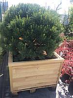 Сосна Ватерери бонсай (Pinus Sylvestris Watereri )