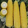 Кукуруза сахарная Добрыня