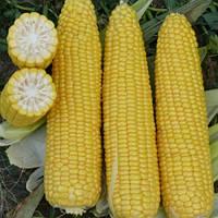 Кукуруза сахарная Добрыня, фото 1