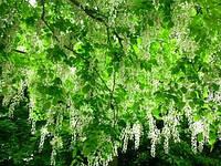 Софора японская Sophora iaponica
