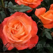 Саженцы роз Анжелика