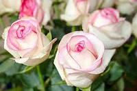 Саженцы роз Белла Вита