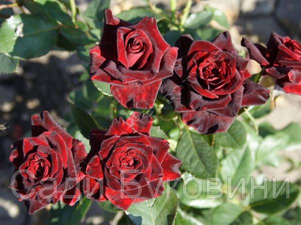 Саженцы роз Блэк Баккара