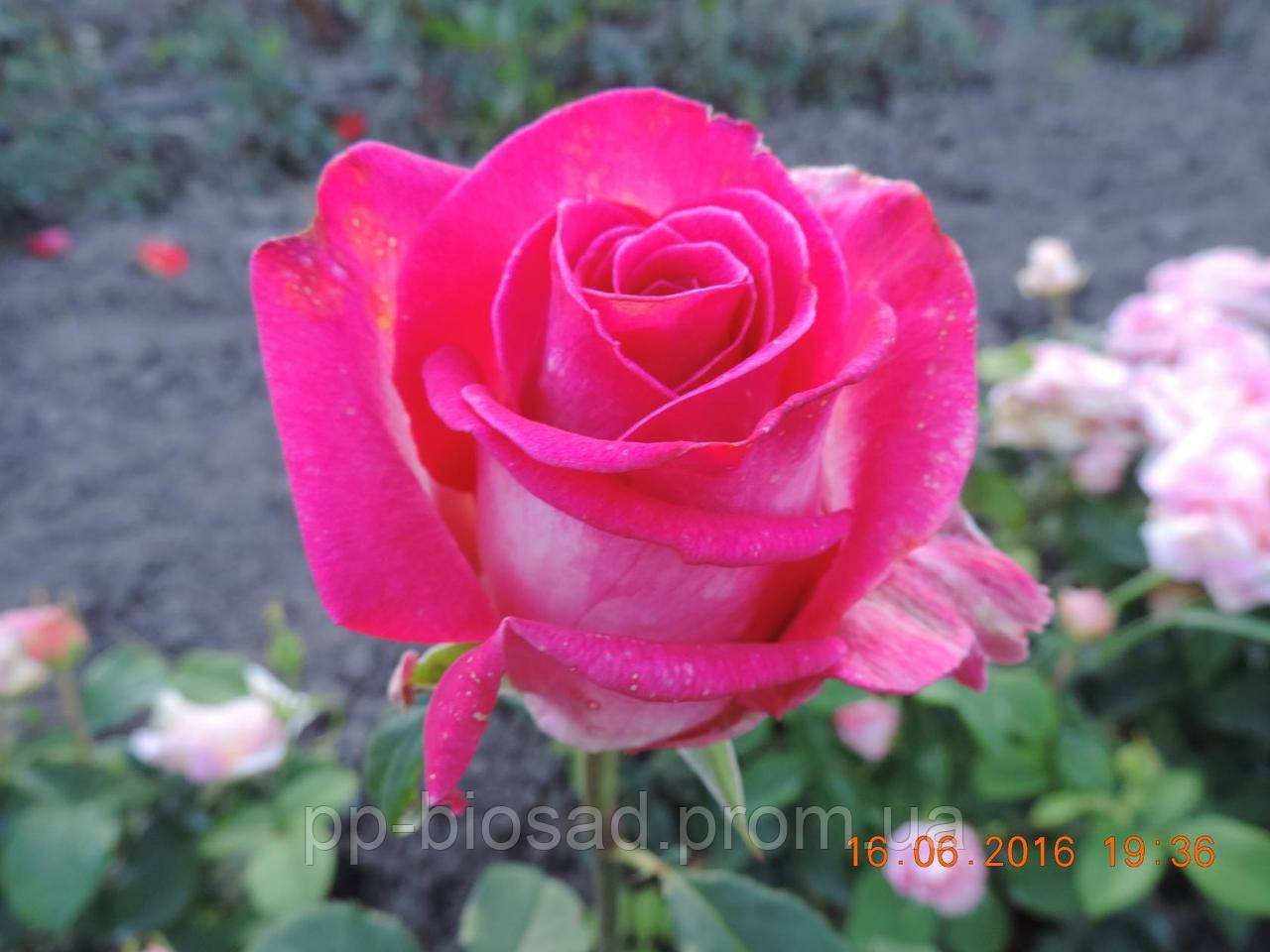 Саженцы роз Верди