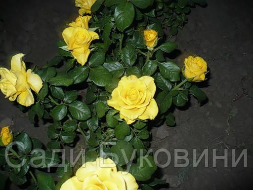 Саженцы роз Керио