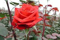 Саженцы роз Ред Берлин