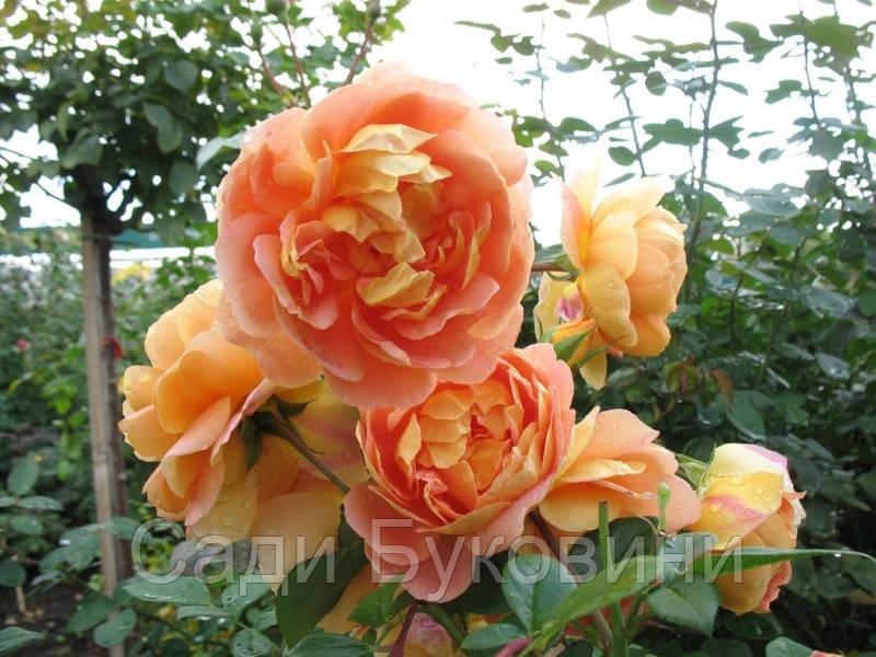 Саженцы роз Солей д'Ор