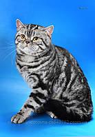 Шотландский кот для вязки вислоухой кошки. Кот дает красивое и здоровое потомство.