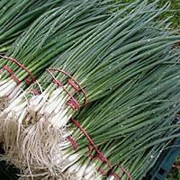 Семена лука Лонг Уайт Кошигая 25 гр. Саката