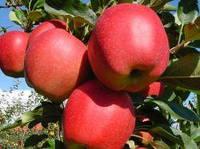 Саженцы яблони Гала Маст (М-9)