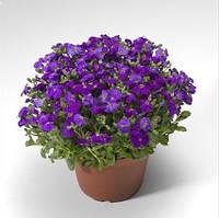 Семена цветов Обриета гибридная Одри F1 голубая 100 шт