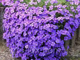 Семена цветов Обриета гибридная Одри F1 синяя с прожилками 100 шт