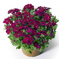 Обриета гибридная Одри F1 темно-пурпурная, 100 шт