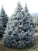 Голубая ель Костер(Koster) до 80см