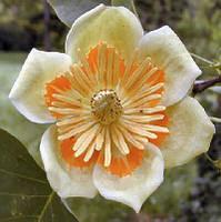 Тюльпаново дерево, Лириодендрон тюльпановый , семена 10 шт в упаковкек