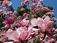 Магнолия Суланжа розовая (в упаковке 5 штук семян)