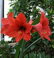 Амариллис (Гиппеаструм красный) Луковица-детка средняя