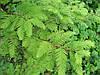 Метасеквойя древнейшая (семена 50 штук)