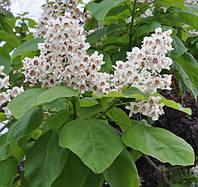 Катальпа бигнониевидная, или обыкновенная (Catalpa bignonioides) (семена 5 штук в упаковке)