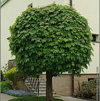 Клён остролистный, обычный ( саженец 95-120 см)