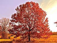 Дуб червоний. (саджанець 120-140 см), фото 1