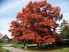 Дуб червоний. (саджанець 120-140 см)