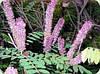 Аморфа полукустарниковая (семена 30 штук в упаковке