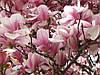 Магнолия Суланжа розовая (в упаковке 30 штук семян)