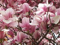 Магнолия Суланжа розовая (в упаковке 21 штук семян)