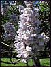 Павлония войлочная Павловния (Paulownia)(в упаковке 30 шт)