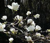 Магнолия Кобус белая (цена за упаковку,в упаковке 21 штук семян)