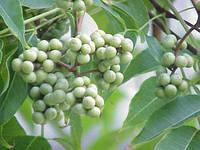 Пробковое дерево или Феллодендрон амурский  (цена за упаковку,в упаковке 51 штук семян)