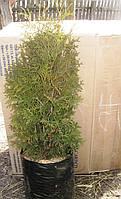 Туя Западная колоновидная.(70-80 см, саженец 4 года!)