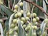 Маслинка вузьколистна. (Лох узколистный) 10 штук семян