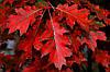 Дуб червоний, опт 10 штук (саджанець від 140 см до 170 см)