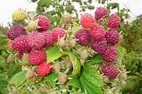 Малина Таруса (малиновое дерево красная ягода)