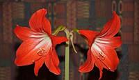 Амариллисы красные с белой серединкой  (семена 5 штук)