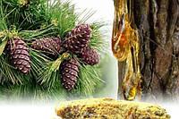 Живица кедровая (терпентиновый бальзам 10%, оливковое 100 мл)