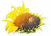 Семена подсолнечника НС ИМИСАН (уст. до евролайтингу)