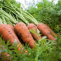 Карини - морковь, 500 гр семян, Bejo (Бейо) Голландия