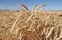 """Пшеница твердая ярая """"ЧАДО""""  (суперэлита)"""