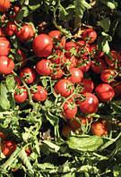 Фортикс F1 - томат детерминантный, 5 000 семян, Syngenta (Сингента), Голландия