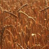 Семена пшеницы озимой СО 207 (первой репродукции)