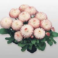Семена маргаритки Хабанера розовая 250 шт