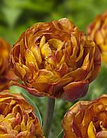 Тюльпан Brownie